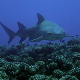 Lemon shark (Negaprion brevirostris) on the fore reef of Moorea