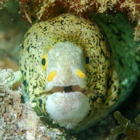 snowflake moray eel (Echidna nebulosa). photo cred: Cory Fuchs