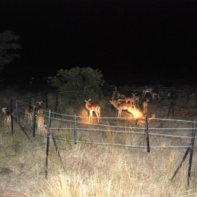 Impala (Aepyceros melampus) foraging inside some of our partial exclosures at night