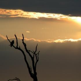 Raptor with a Kruger sunset