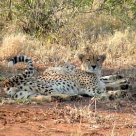 Cheetah (Acinonyx jubatus), the fastest predator in Kruger
