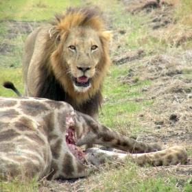 Male lion (Panthera leo) with a giraffe kill near camp