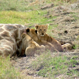 Lion cubs filling up on giraffe meat