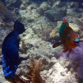 Midnight Parrotfish (Scarus coelestinus) and Rainbow Parrotfish (Scarus guacamaia)