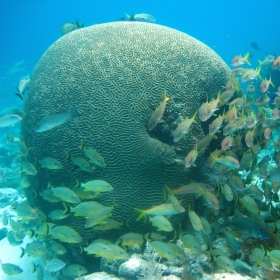 Grunts, Snapper, and Goatfish with Large Brain Coral