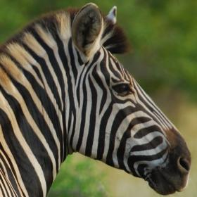 Zebra (Equus quagga) - An important grazer in Kruger National Park