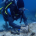 Mark outplanting Acropora cervicornis to a study reef