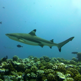 Carcharhinus melanopterus (Photo: Katie Davis)