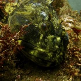 Scorpaenichthys marmoratus (Photo: Katie Davis)