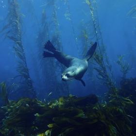 Sub anarctic fur seal