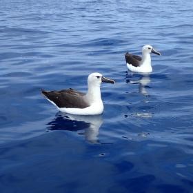Yellow nose Albatross