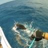 Embedded thumbnail for Palmyra Atoll; Shark Mark-Recapture Study