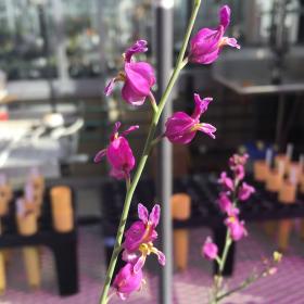 Streptanthus glandulosus