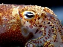 Hawaiian Bobtail Squid. Credit: University of Wisconsin