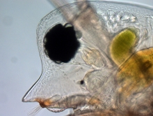 Head of Daphnia pulex (commonly called water flea). Credit: Christian Laforsch